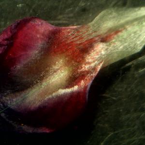 Photographie n°2433900 du taxon Vicia angustifolia L. [1759]