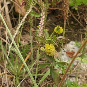 Photographie n°2433958 du taxon Trifolium campestre Schreb. [1804]