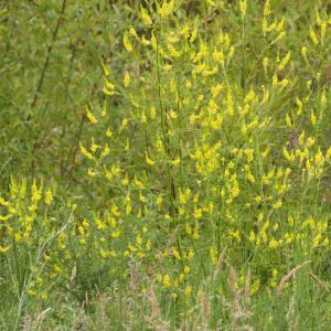 Photographie n°2433963 du taxon Melilotus officinalis (L.) Lam. [1779]