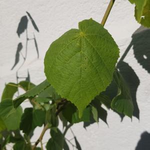 Photographie n°2434081 du taxon Tilia platyphyllos Scop. [1771]