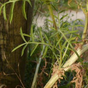 Photographie n°2434126 du taxon Centaurea calcitrapa L. [1753]