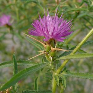 Photographie n°2434127 du taxon Centaurea calcitrapa L. [1753]