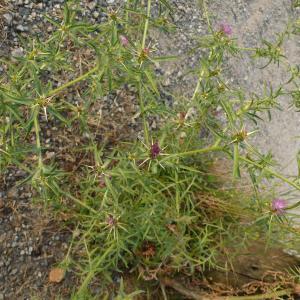 Photographie n°2434128 du taxon Centaurea calcitrapa L. [1753]