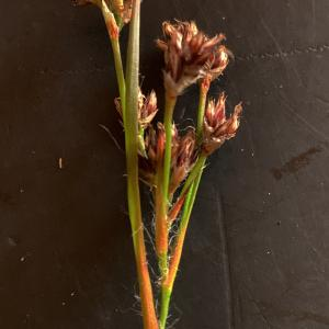 Luzula alpinopilosa (Chaix) Breistr. (Luzule marron)