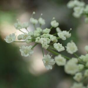 Photographie n°2434671 du taxon Pimpinella major (L.) Huds.