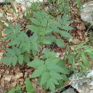 Photographie n°2434678 du taxon Pimpinella major (L.) Huds.