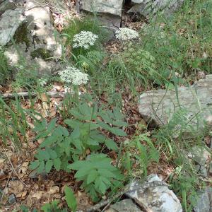 Photographie n°2434679 du taxon Pimpinella major (L.) Huds.