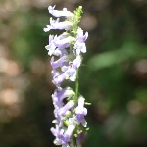 Photographie n°2434688 du taxon Anarrhinum bellidifolium (L.) Willd.