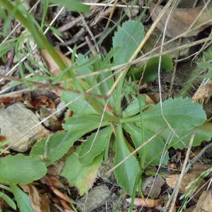 Photographie n°2434689 du taxon Anarrhinum bellidifolium (L.) Willd.