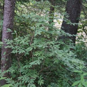 Photographie n°2434737 du taxon Lonicera nigra L. [1753]