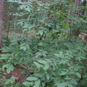 Photographie n°2434746 du taxon Lonicera nigra L. [1753]