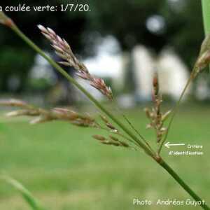 Photographie n°2434792 du taxon Festuca rubra L. [1753]