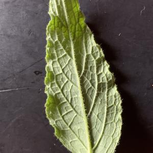 Photographie n°2434907 du taxon Symphytum x caeruleum Petitm. ex Thell. [1907]