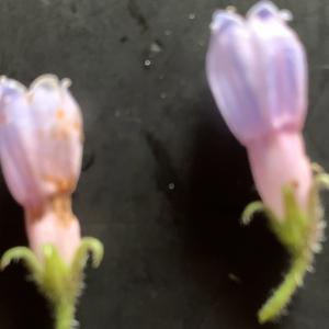 Photographie n°2434908 du taxon Symphytum x caeruleum Petitm. ex Thell. [1907]