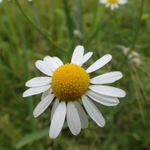 Photographie n°2435083 du taxon Tripleurospermum inodorum (L.) Sch.Bip.