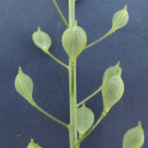 Photographie n°2435565 du taxon Camelina microcarpa Andrz. ex DC. [1821]