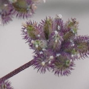 Photographie n°2435741 du taxon Torilis japonica (Houtt.) DC.