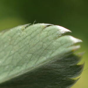 Photographie n°2435767 du taxon Alchemilla saxatilis Buser