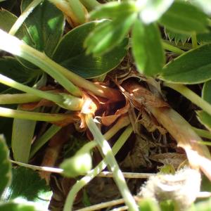 Photographie n°2435774 du taxon Alchemilla saxatilis Buser