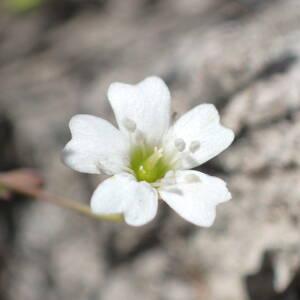 Photographie n°2435897 du taxon Atocion rupestre (L.) B.Oxelman