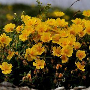 Photographie n°2435926 du taxon Helianthemum nummularium var. grandiflorum (Scop.) B.Bock