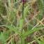 Pauline Guillaumeau - Stachys palustris L.