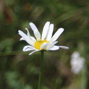 Photographie n°2436175 du taxon Leucanthemum vulgare Lam.