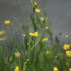 Photographie n°2436193 du taxon Ranunculus flammula L.
