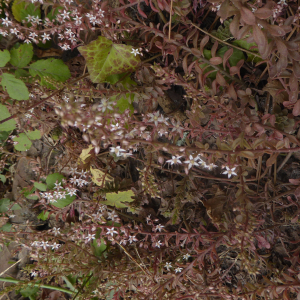 Photographie n°2436215 du taxon Sedum cepaea L. [1753]