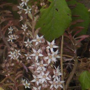 Photographie n°2436220 du taxon Sedum cepaea L. [1753]