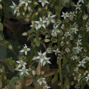 Photographie n°2436223 du taxon Sedum cepaea L. [1753]