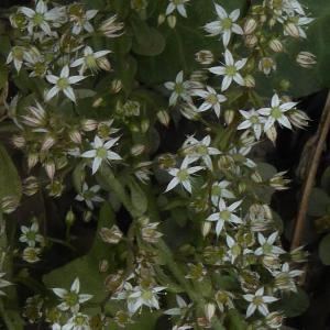 Photographie n°2436224 du taxon Sedum cepaea L. [1753]