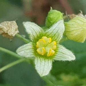Photographie n°2436452 du taxon Bryonia dioica Jacq.