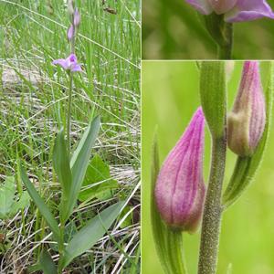 Photographie n°2436483 du taxon Cephalanthera rubra (L.) Rich. [1817]
