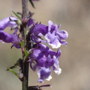 Photographie n°2436496 du taxon Anarrhinum bellidifolium (L.) Willd.