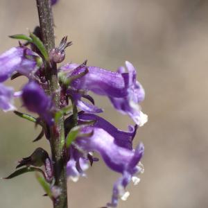 Photographie n°2436499 du taxon Anarrhinum bellidifolium (L.) Willd.