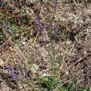 Photographie n°2436503 du taxon Anarrhinum bellidifolium (L.) Willd.