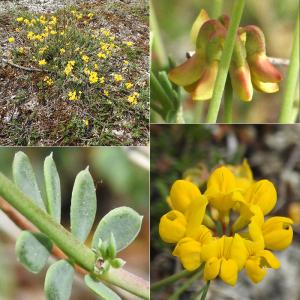 - Coronilla minima subsp. minima