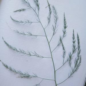 - Asparagus L. [1753]