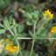 Lotus subbiflorus Lag. [nn176927] par Christian Fontaine le 14/07/2020 - Plougoumelen