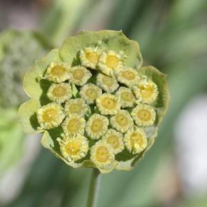 Photographie n°2437216 du taxon Bupleurum stellatum L. [1753]