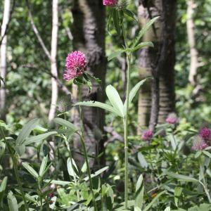 Photographie n°2437261 du taxon Trifolium alpestre L. [1763]