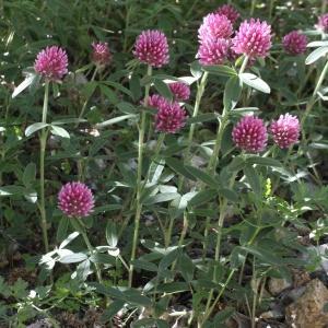 Photographie n°2437262 du taxon Trifolium alpestre L. [1763]