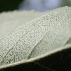 Photographie n°2437442 du taxon Malus pumila var. domestica (Borkh.) C.K.Schneid.