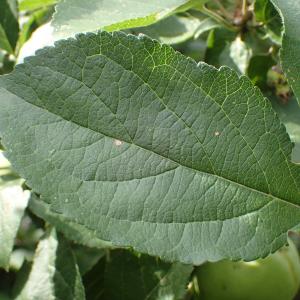 Photographie n°2437444 du taxon Malus pumila var. domestica (Borkh.) C.K.Schneid.