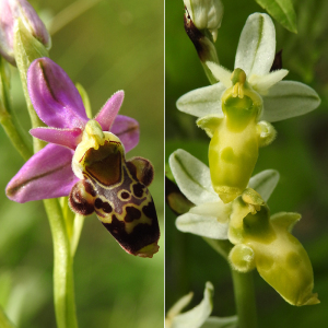 Ophrys scolopax Cav. subsp. scolopax (Ophrys bécasse)