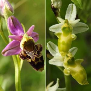Ophrys asilifera Vayr. (Ophrys bécasse)
