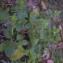 Stachys arvensis L. [1763] [nn117548] par izemrane nesrine le 20/02/2020 - Bains Romains