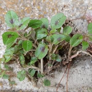 - Amaranthaceae