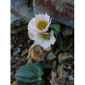 Ranunculus parnassifolius L. subsp. parnassifolius (Renoncule à feuilles de parnassie)